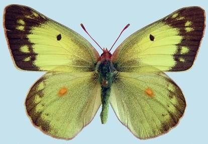 Sulphur common  Colias_philodice