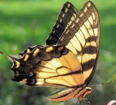 Swallowtail Tiger