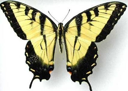Swallowtail eastern tiger Papilio gluacus