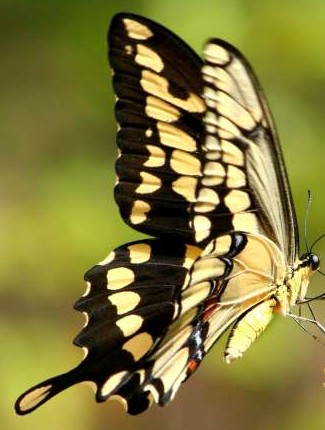 Giant Swallowtail Butterfly - Papilio cresphontes