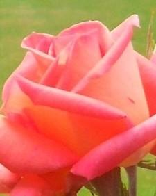 rose_folklore