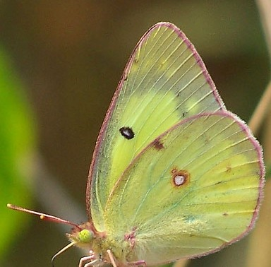 sulphur common Colias-philodice-closed
