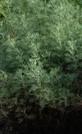 Artemisia_abrotanum,_Southernwood