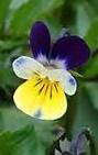 Pansy viola tricolor 2