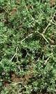 Scleranthus annus 2