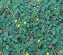 puncture-vine- Tribulus terrestris