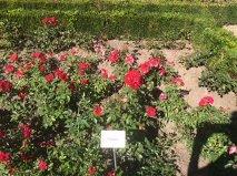 Bamberg rose garden Paprika