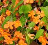 Begonia sutherlandii 2