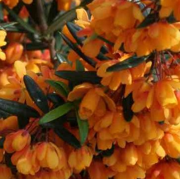 Berberis linearfolia Orange King 2