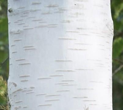 Betula utilis var jacquemontii Himalyan white birch bark detail
