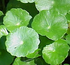 Hydrocotyle umbellata water penney