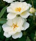 Kent shrub rose