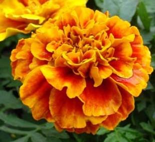 Marigold Tagetes patula