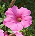 Petunia-Fame-Salmon-Pink