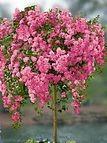 weeping rose tree 2