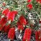 Bottlebrush Firebrand