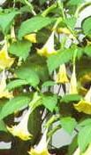 _Brugmansia_aurea-