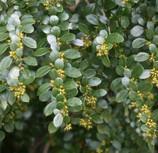 azara-microphylla