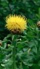 centaureamacrocephala_2