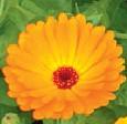 Calendula Offincinalis