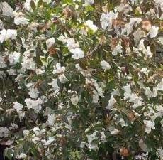 Camellia-Cornish-Snow bush