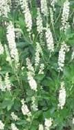 Clethra alnifolia 2