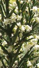 Colletia_hystrix 2