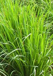 Cymbopogon citratus lemongrass
