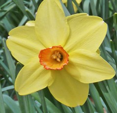 Narcissus Birma