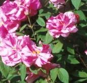 Rosa mundi by compost heap