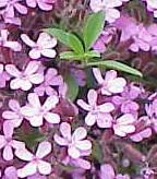 Saponaria_ocymoides2