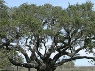 Texad live oak 2