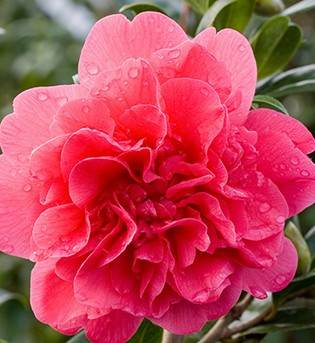 Camellia williamsii Anticipation