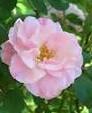 Rose Clair Matin 2