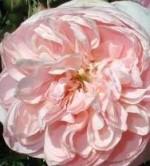 Rose Colette