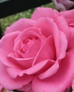 Rose Rhonda