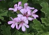 Pelargonium graveolens rose geranium