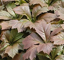 Rodgersia podophylla fall color