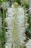 Sanguisorba canadensis