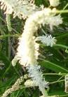 sanguisorba-tenuifolia-alba