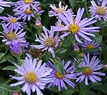 Aster_fricartii_Monch