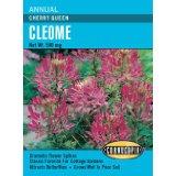 Cleome seed