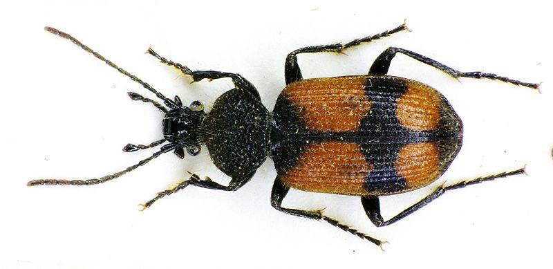Panagaeus_cruxmajor Siga Wikimedia Commons