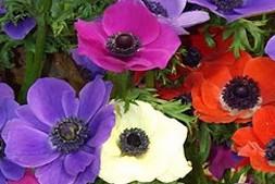 anemone coronaria de-caen