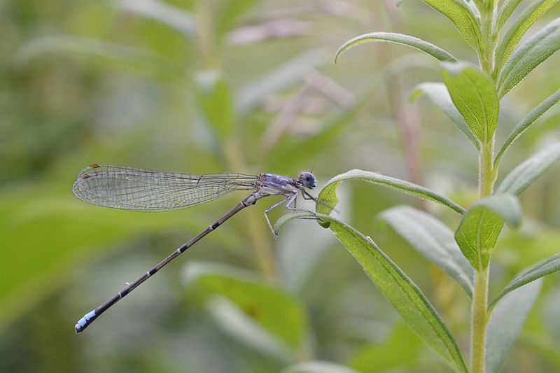 Damselfly Blue-fronted_Dancer_Argia_apicalis_Andrew C