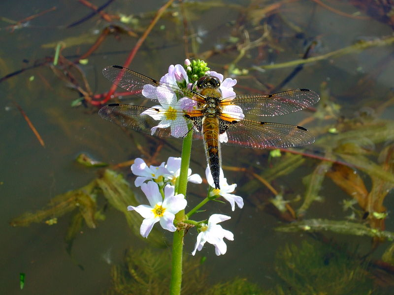 Dragonfly Libellula_quadrimaculata Aiwok wikimedia Commons
