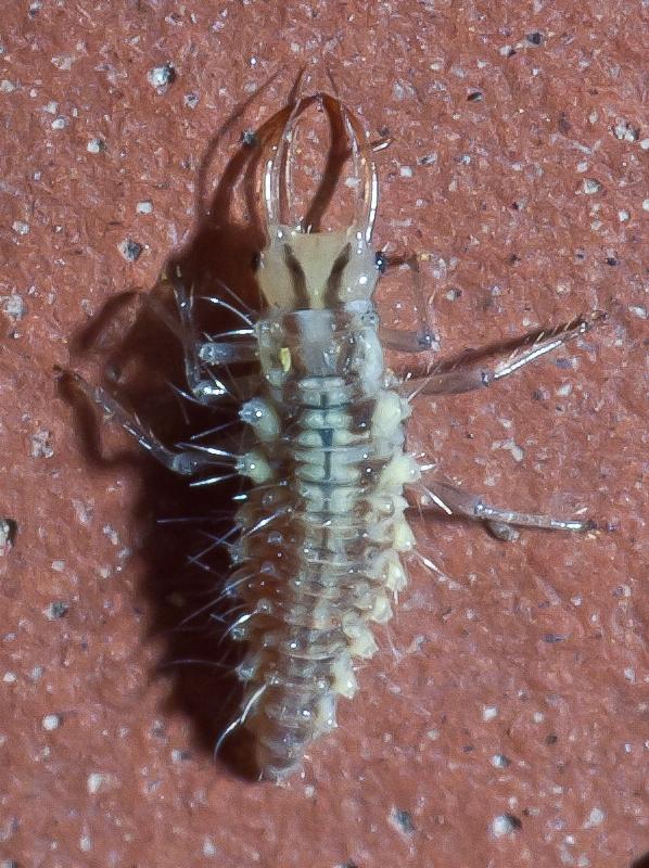 Green lacewing larva Luis Miguel Bugallo Sánchez