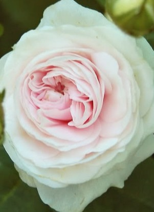 Rose Great Maidens Blush