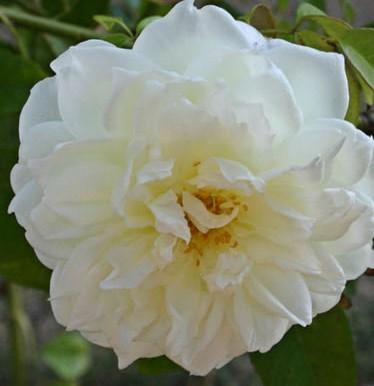 Rose Lamarque 2
