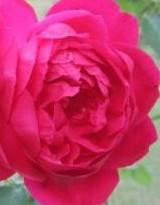 Rose Louis Philippe